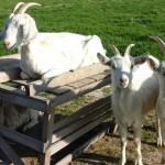 Donemark Rise B&B Goats
